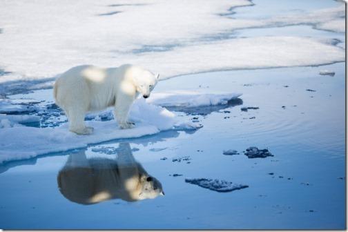 svalbard-polar-bear-fall-2015_aars
