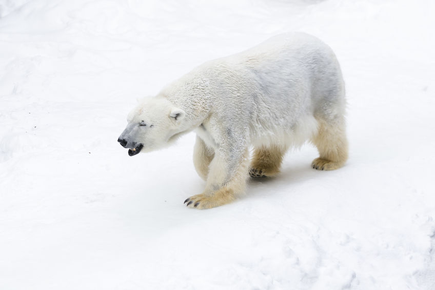 Polar bear attack in Svalbard: victim survives, polar bear does not