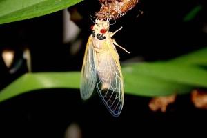 Cicada 2004 TIFF (26).jpg