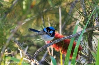 幸せを運ぶ青い鳥 ルリオーストラリアムシクイ