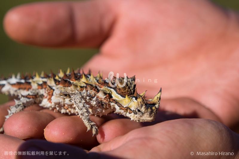 全身トゲだらけの珍しいトカゲ ソーニーデビル(モロクトカゲ)