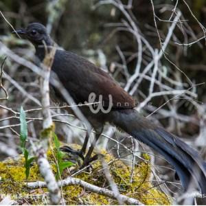 オーストラリアのユニークな鳥 – コトドリ