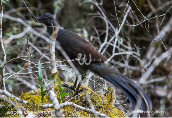 オーストラリアの変わった鳥 - コトドリ