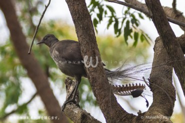 オーストラリアのものまね鳥 – コトドリ