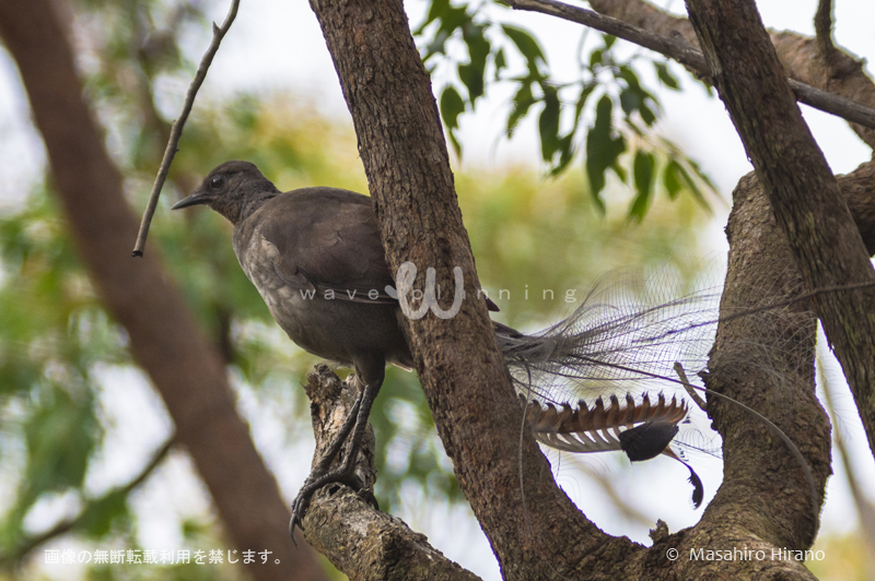 オーストラリアの変な鳥 - コトドリ