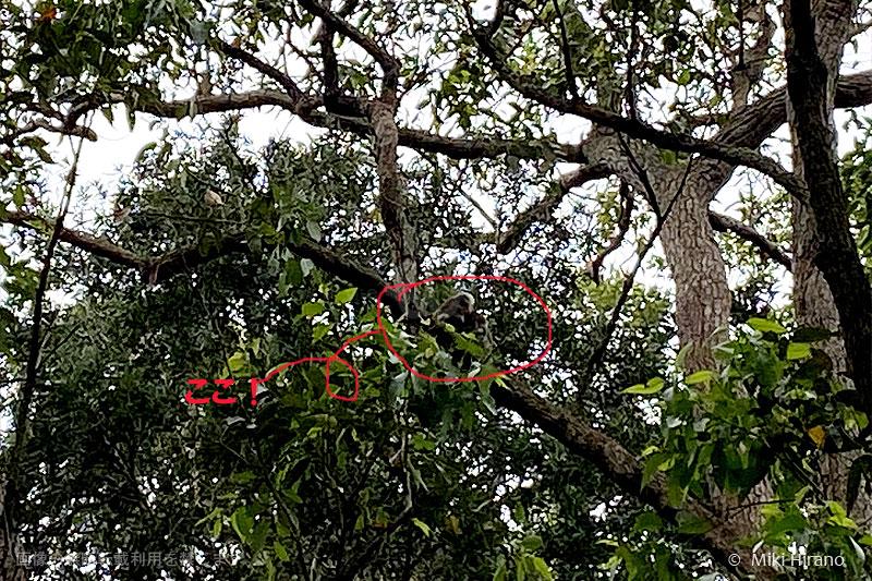 グレーがかったコアラは木の色に紛れてしまっています。