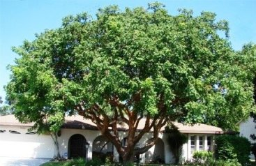 Gumbo Limbo - large, 40 ft, showy red bark, roots need room, Staff's prefers this to Live Oak.