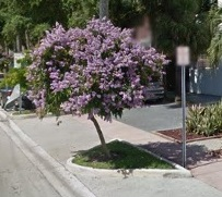 Lignum Vitae - decorative tree, small 10-20 ft, slow grow, purple flowers Feb to May. Difficult to source. Exists on the east side of Bay Rd. between 15th & 17th.