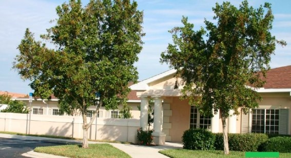 Green Buttonwood - large, 40 ft, evergreen. Picture is of mature tree. Staff's choice.