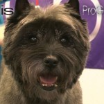 Grooming Guide - Cairn Terrier Pet Trim - Pro Groomer - Youtube for How To Trim A Carin Terriers Face