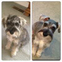 Miniature Schnauzer Haircut Pictures