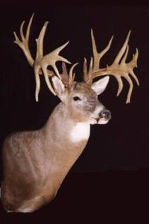 """""""The Jay Phankuch Buck"""" taken in Ohio in 1995 with a shotgun. 27 points on an 11 point main frame."""