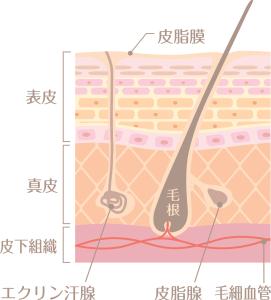 毛囊位於真皮層