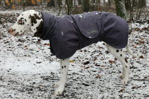 Dalmatiner in seinem Hundemantel