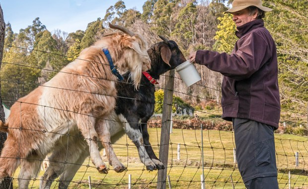 Man feeding two goats over a fence