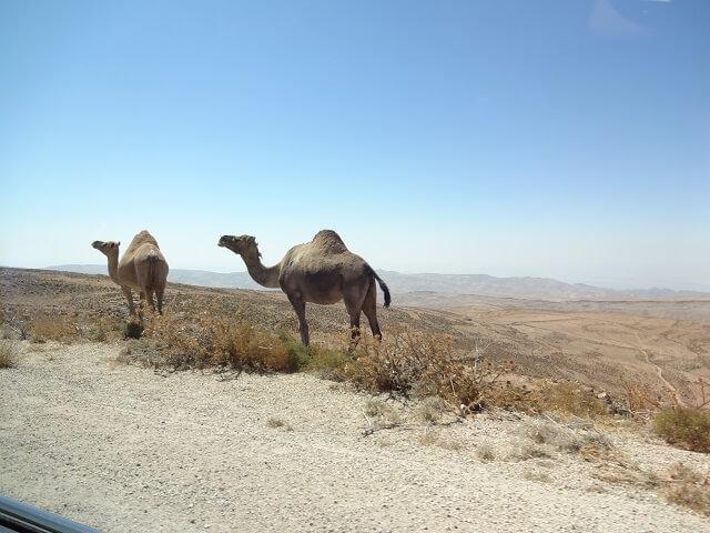 ヨルダン・ワディラムに向かう途中で見たラクダ