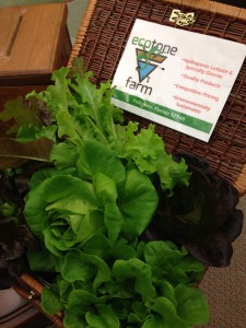 Gorgeous lettuces from Tammy at EcoTone Farms: aquaponic growing on the Treasure Coast!
