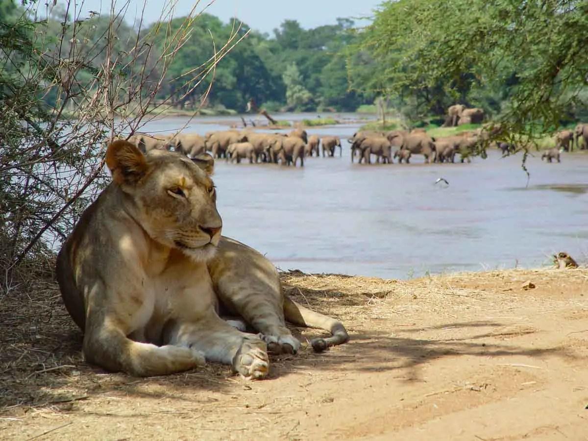 Ewaso Lion Project Central Kenya Lions