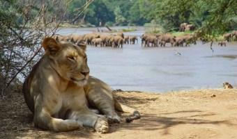 Ewaso Lion Central Kenya
