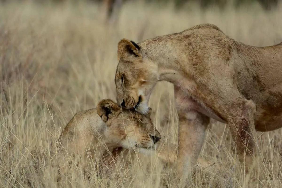 Kenya Lions nuzzling in the Samburu