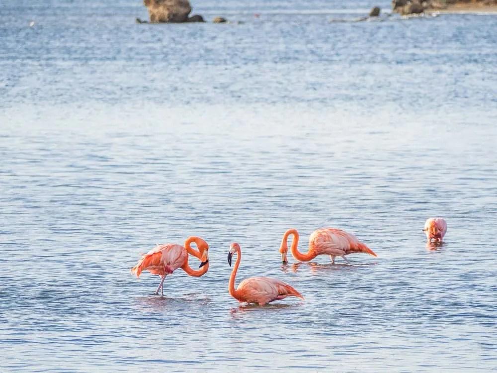 Flamingos in Bonaire