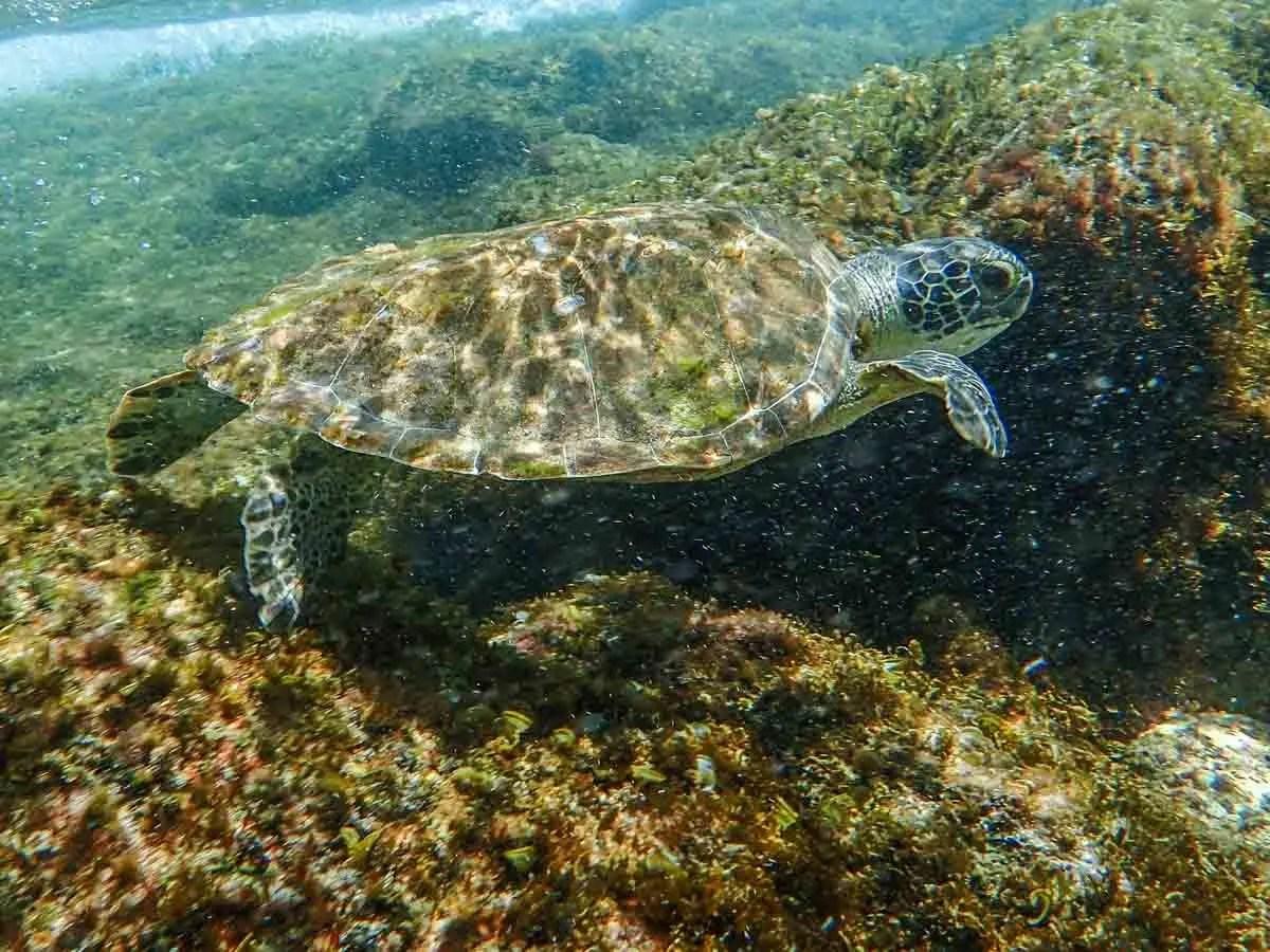 Snorkeling in Bonaire Green Turtle