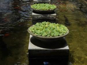 Mosvold Villa Hotel Sri Lanka koi pond