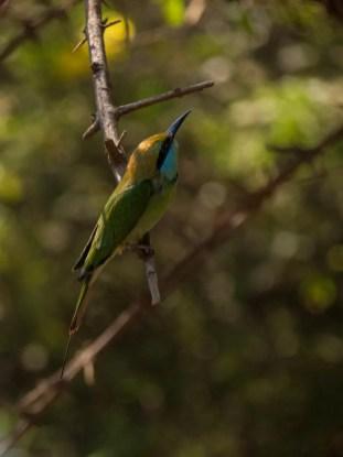 Bee eater bird Yala National Park