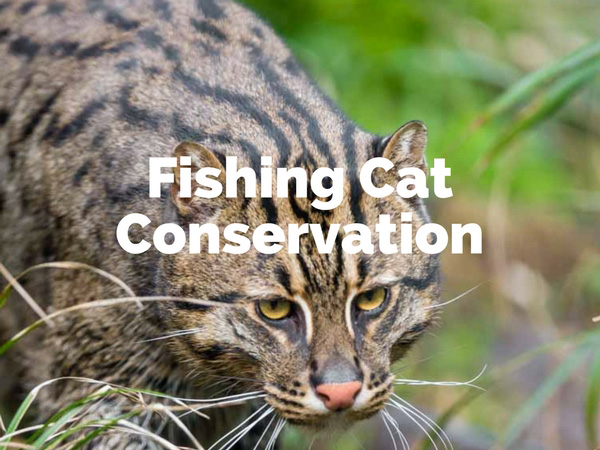 Fishing Cat Conservation Sri Lanka