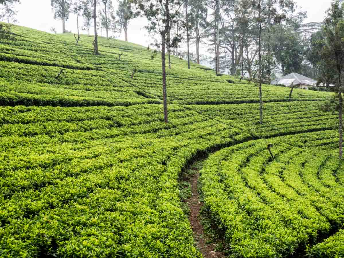 Sri Lanka travel guide tea country