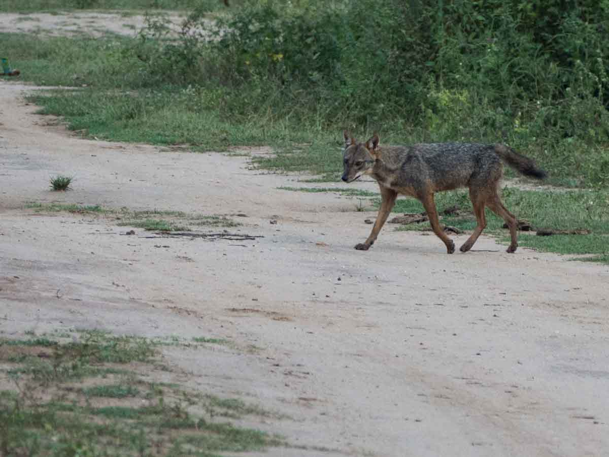Jackal in Udawalawe Sri Lanka wildlife