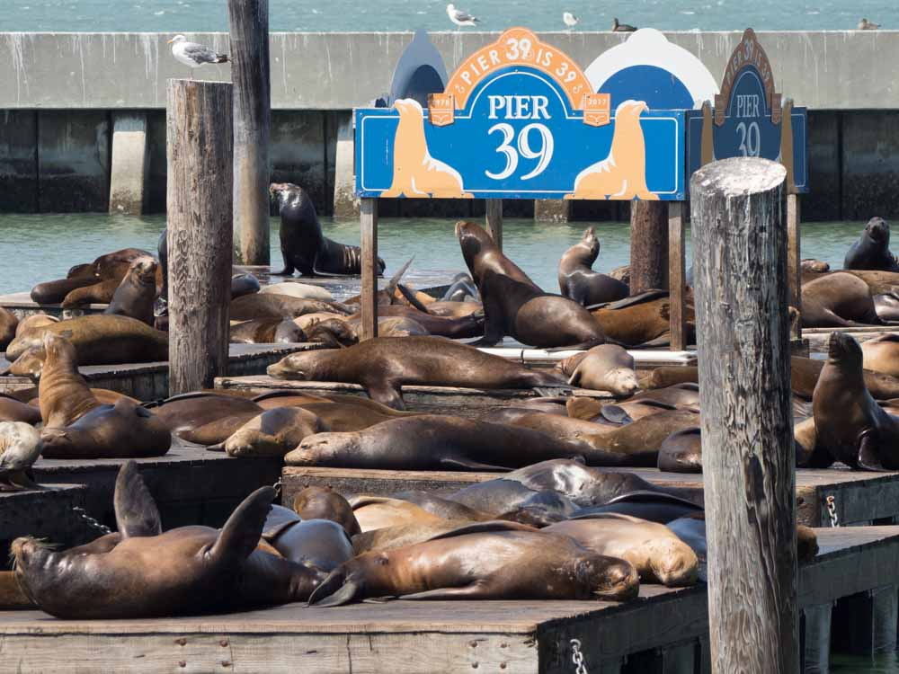 Best area to stay San Francisco: pier 39 sea lions