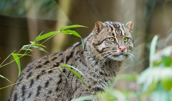 Asian Fishing Cat Emmanuel Keller