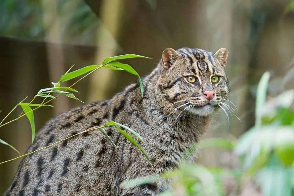 The Asian Fishing Cat: Surviving Urban Jungles in Sri Lanka