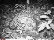 Fishing Cat night scene jungle