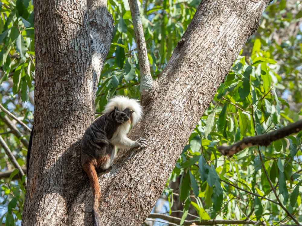 Cotton Top Tamarin monkey Colombia in a tree
