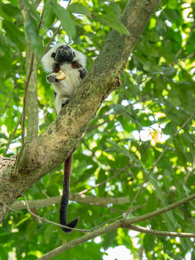 Cotton Top Tamarin Monkey Colombia- eating a Banana
