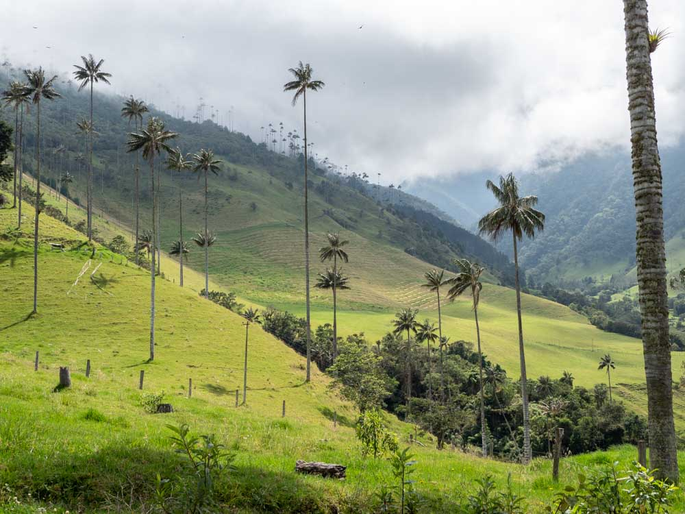 Wax palm trees in Salento's Cocoro valley during two weeks in colombia