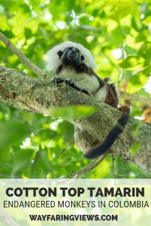 Cotton Top monkeys of Colombia