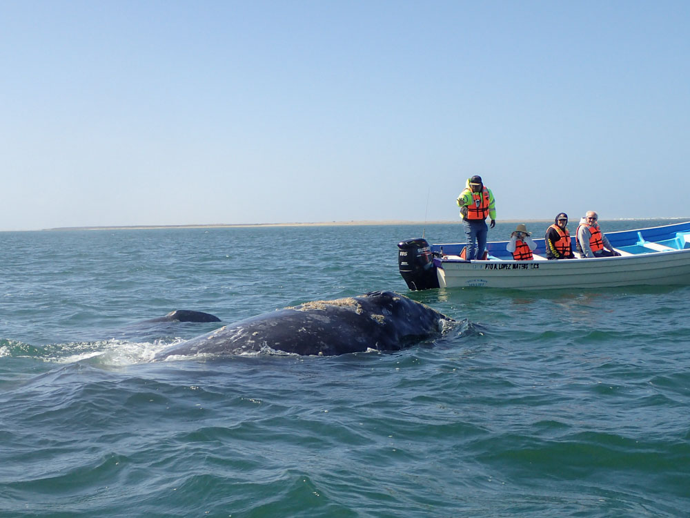Grey whale in Magdalena Bay, Baja Mexico. Whale with boat