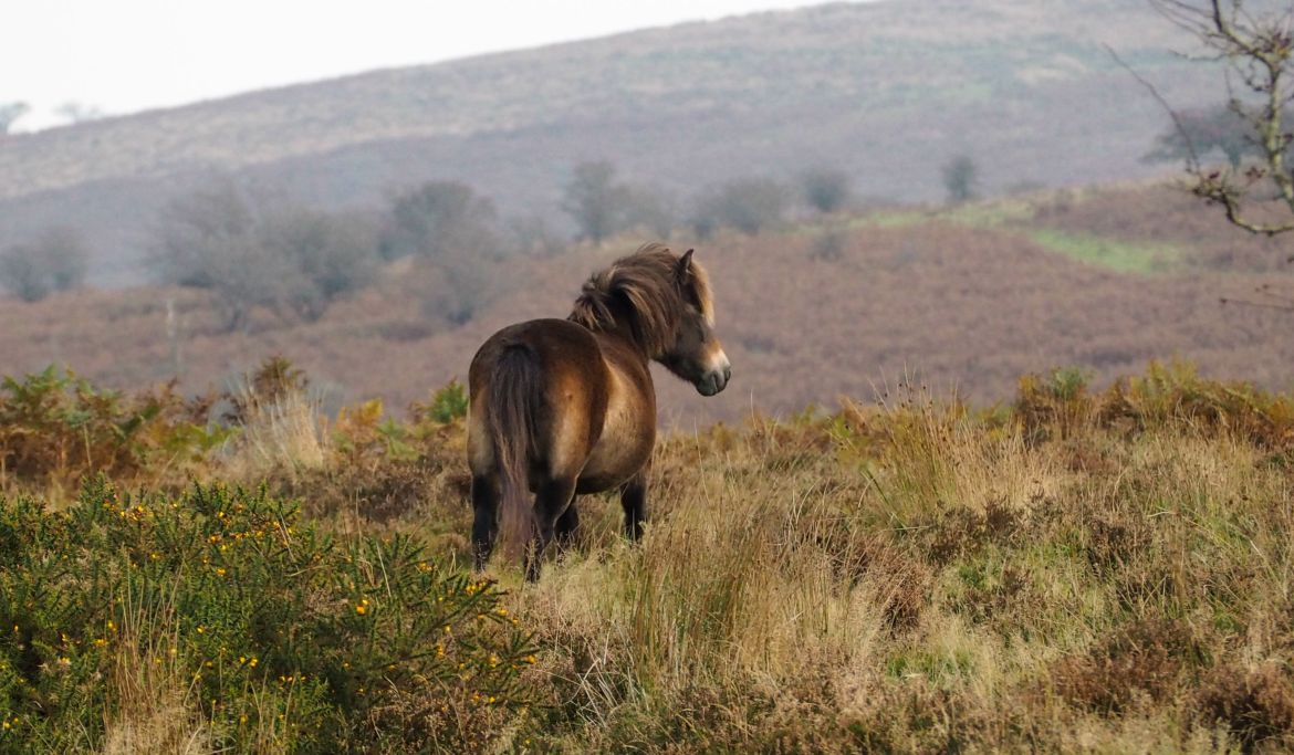 Exmoor Ponies & Where to Find Them