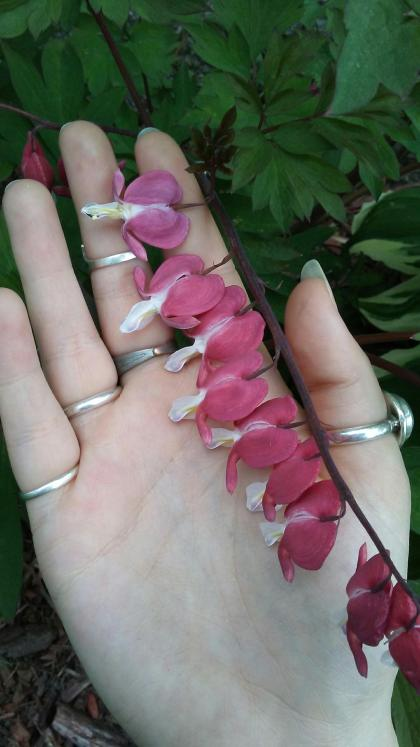 woman's hand with rings holding bleeding heart flowers in her palm