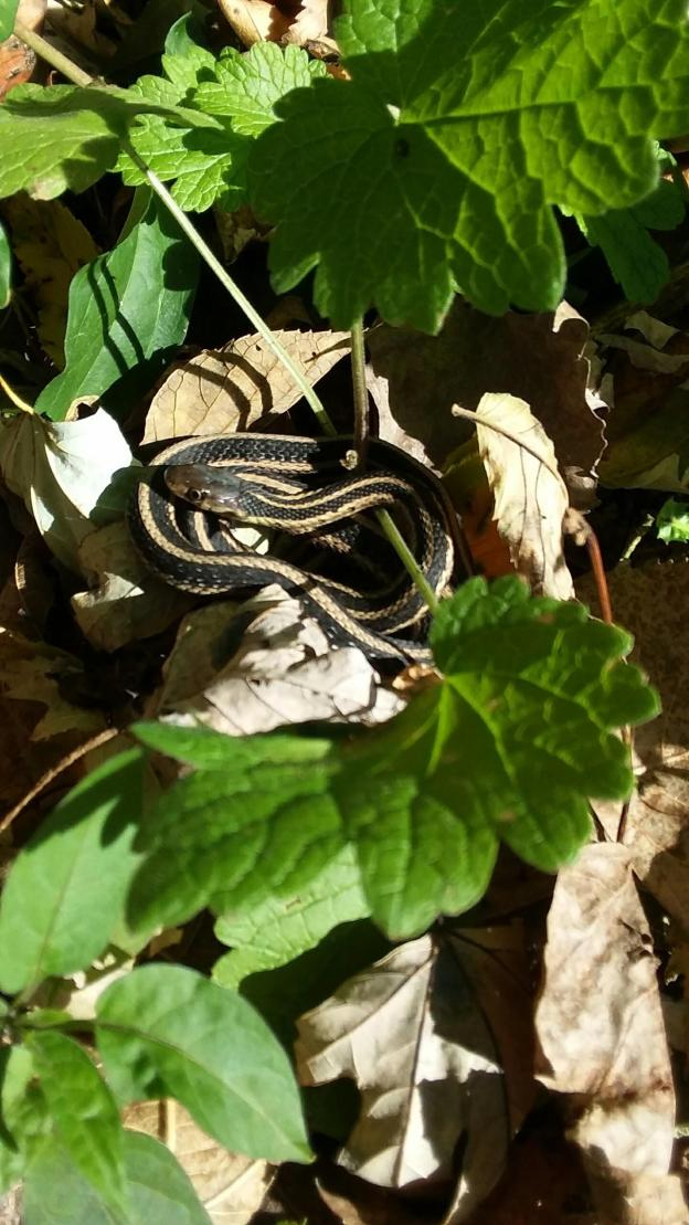 a black and yellow garter snake coiled in leaves