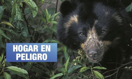 Choquequirao: el territorio amenazado del oso de anteojos en Perú