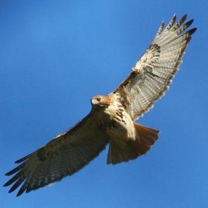 Hawk Watch at Mainstone Farm @ Mainstone Farm
