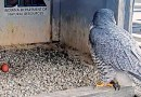SPRING IS HERE: PEREGRINE EGGS SPOTTED ON FALCON CAM