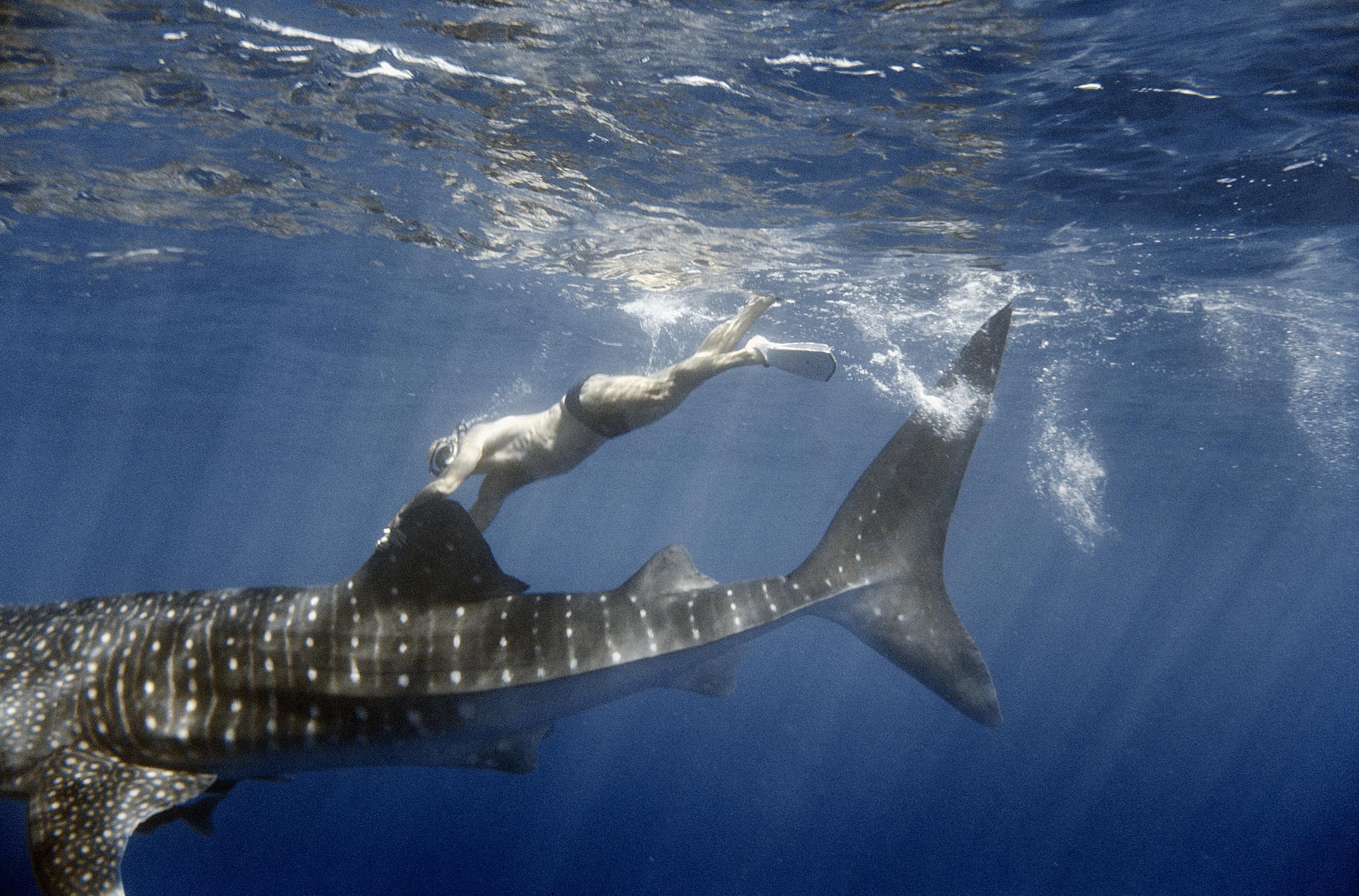 Steve Borowski hitches a ride on a Whale Shark