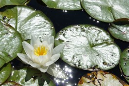 lily pads and flowers in full bloom