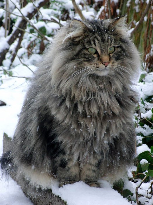 maine-coon-cats 1