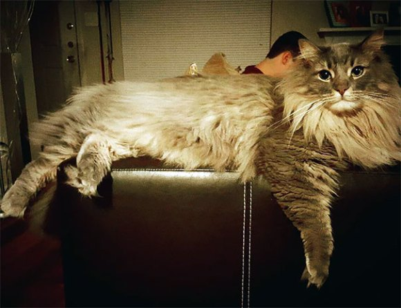 maine-coon-cats 11